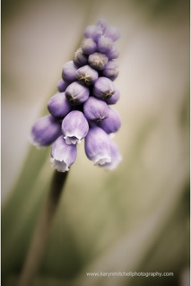 Grape Hyacinth | by zandrsmum