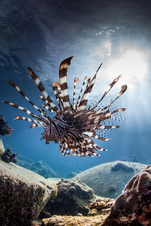majestic prowling lion fish | by Paul Cowell