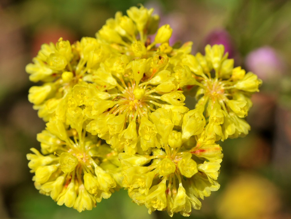 Pretty Yellow Flowers Of Sulfur Buckwheat Eriogonum Umbel Flickr