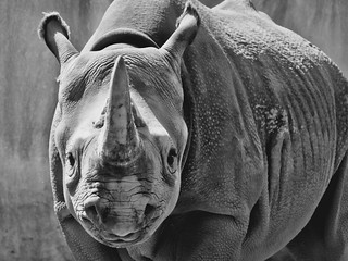 Black rhino 02 | by Podsville
