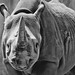 Black rhino 02