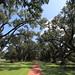 Oak Alley's trees