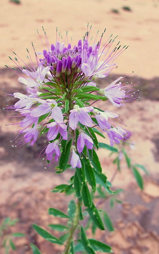 Navajo Spinach - Keet Seel trail - Navajo National Monument | by Al_HikesAZ
