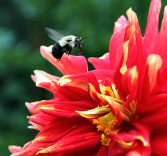 Bee in the Dahlia