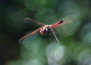 Varigated Meadowhawk (Sympetrum corruptum) | by Jerry Ting