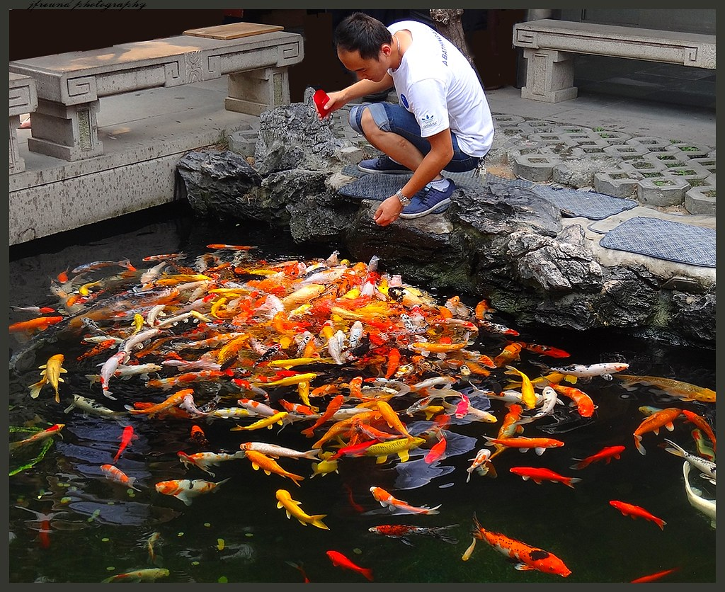 The lotus pond with giant coy fish in the jade buddha temp for Giant coy fish
