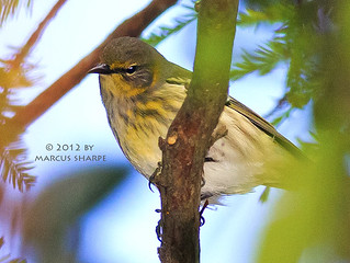 Cape May Warbler - Female | by Marcus Sharpe