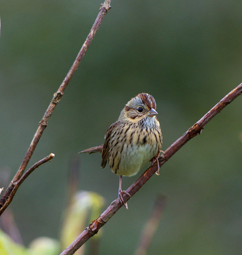 Lincoln's Sparrow | by DaveInman