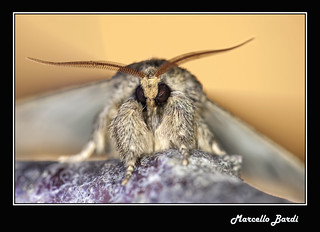 Moth | by Marcello Bardi