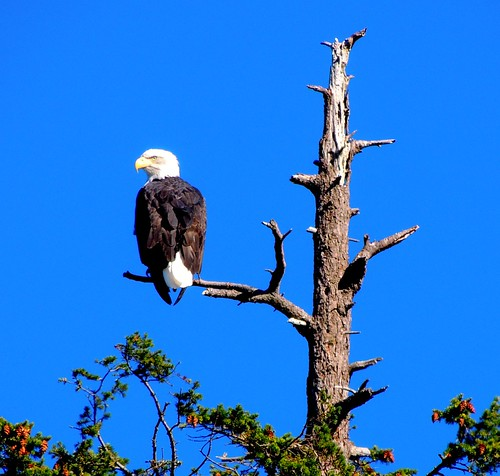 october 5 2012 13:55 - Eagle near the top of the Babysitting Tree | by boonibarb