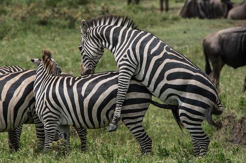 Zebras mating - photo#42