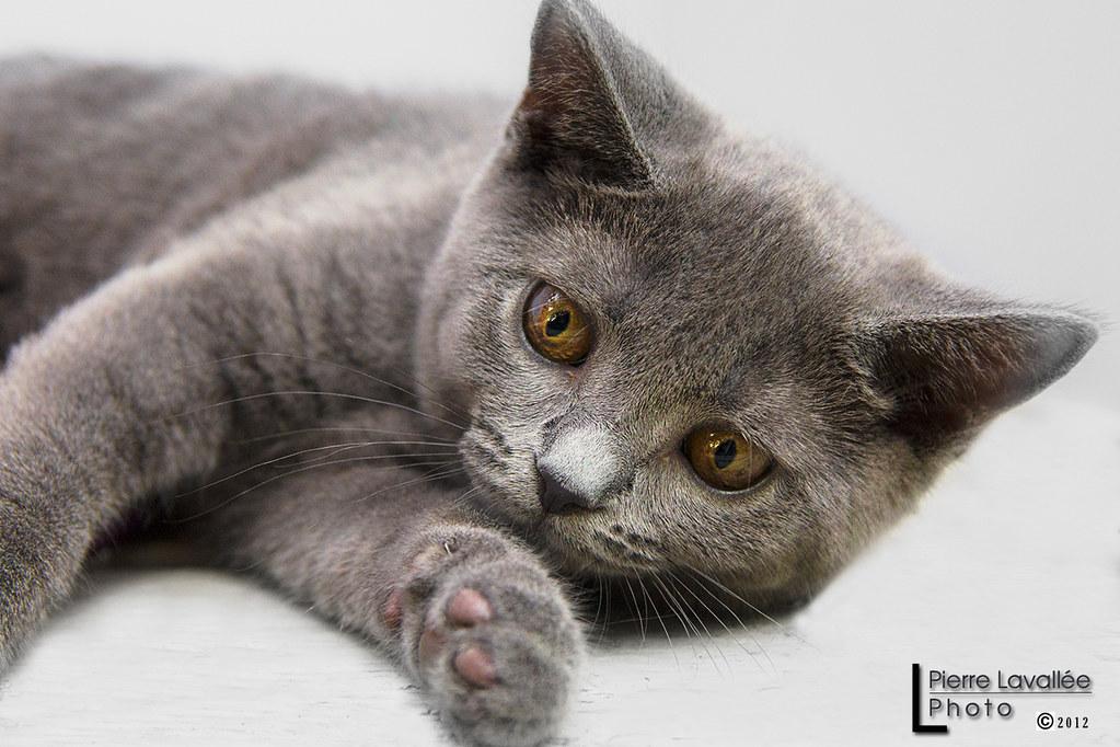 flavie la puce 01 chaton charteux bleu kitten chartreu flickr. Black Bedroom Furniture Sets. Home Design Ideas