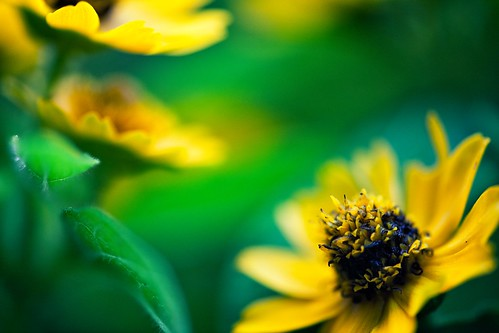 Yellow Flower on Green | by chibitomu
