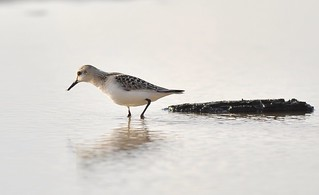 Sanderling | by Søren74
