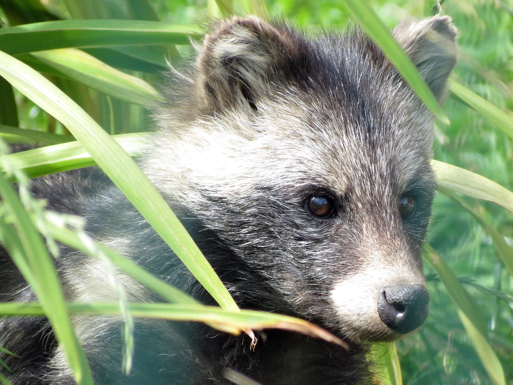 Raccoon Dog Uk