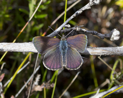 Blotched Blue in Peter Murrell | by Nuytsia@Tas