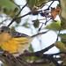 Magnolia Warbler 2