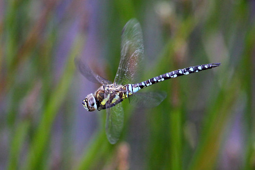 Migrant Hawker (Aeshna mixta) ♂. | by od0man