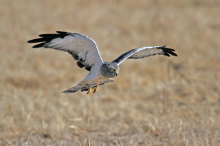 Northern Harrier | by Ron Wolf
