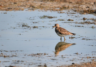 pectoral-sandpiper-no-1 | by suenorth91