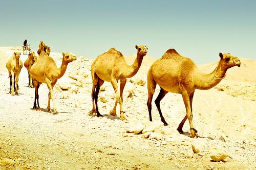 camels convoy