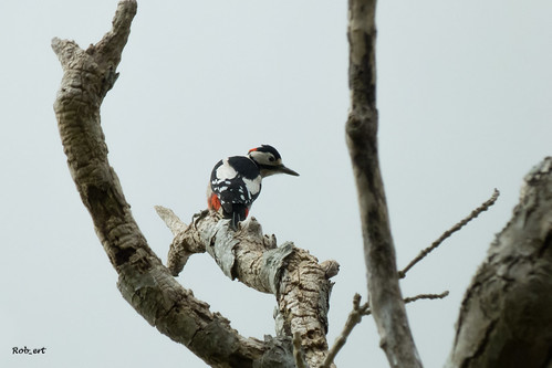 Great Spotted Woodpecker | by Rob_ert