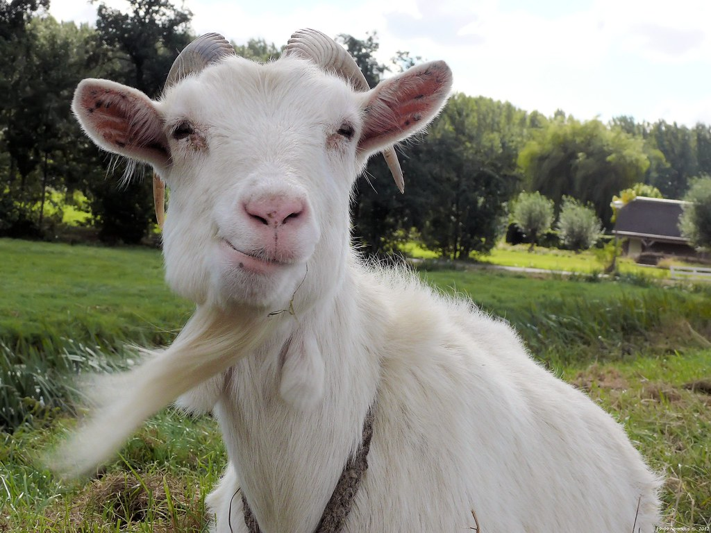 Goat with goatee i got you you hold me by the beard - Immagini da colorare capra ...
