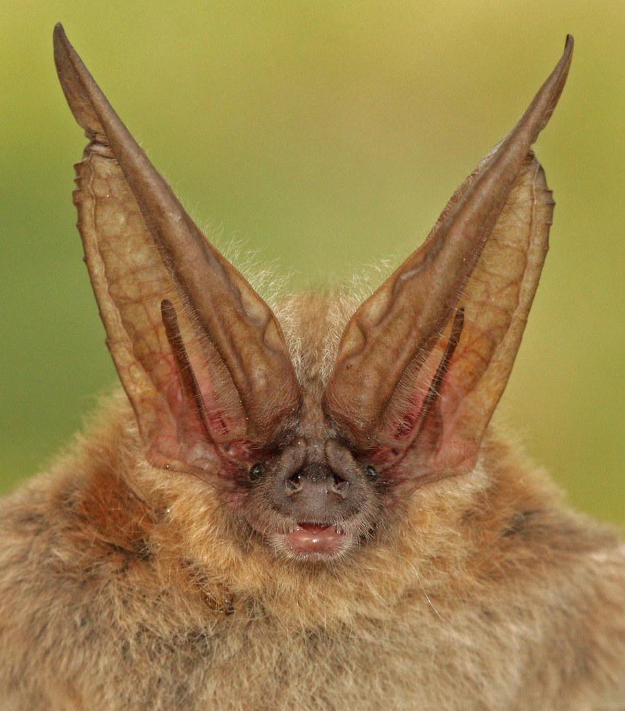 Townsends Big-Eared Bat Corynorhinus Townsendii, Female -1451