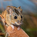 Salt Marsh Harvest Mouse (Reithrodontomys raviventris halicoetes)