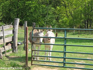 Dolores and Daphne doing the donkey treat death stare (4) | by Farmgirl Susan