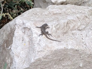 Baby lizard on beach path rock | by 305 Seahill