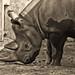 Black rhino 07
