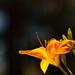September Lily