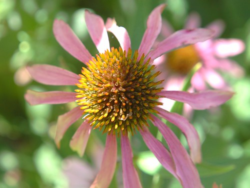 Coneflower, sunshine | by nor certitude