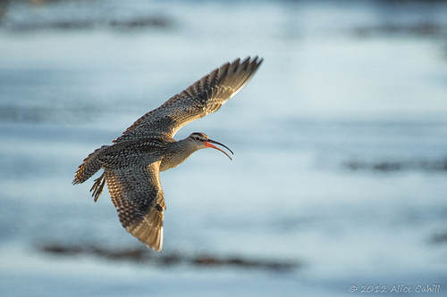Whimbrel | by alicecahill