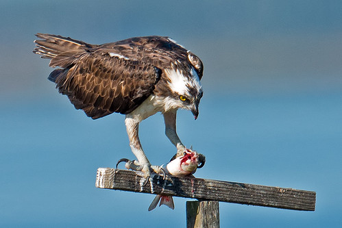 Osprey With Fish | by Brian E Kushner