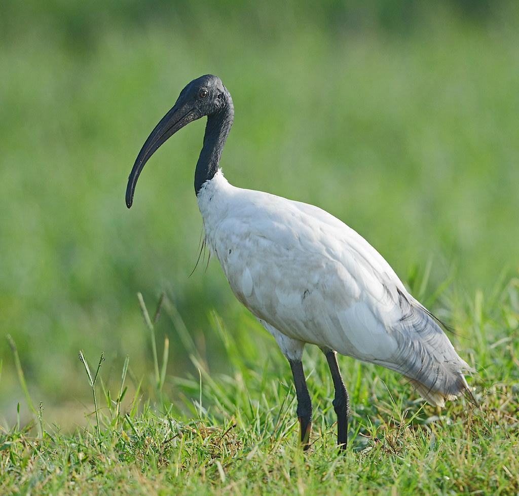Black Headed Ibis Also Known As The Oriental White Ibis