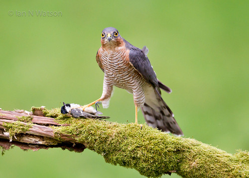 Male Sparrowhawk | by wattysphotos