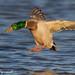 Mallard Landing - IMG_8529-2