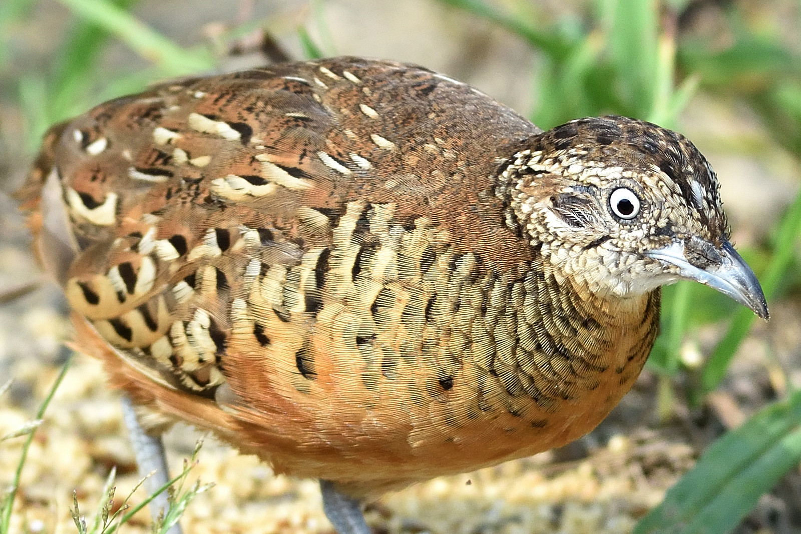 Barred_Butonquail_9394_O