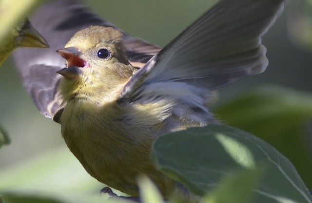 Baby goldfinch at mealtime | Flickr - Photo Sharing!