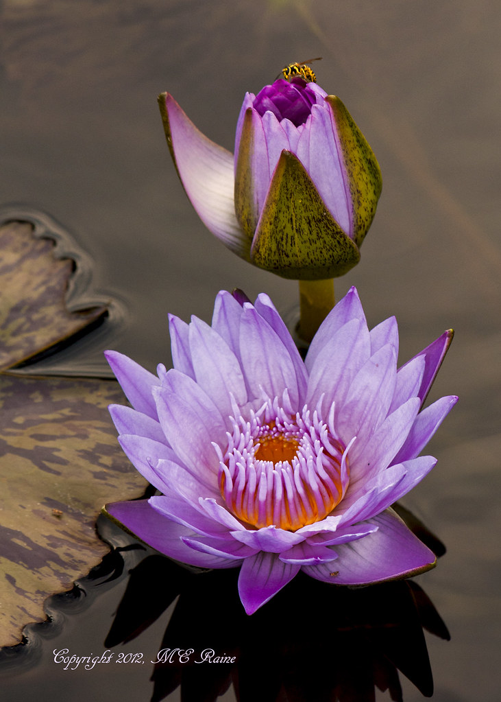 Waterlily Tropical Day Flowering At Longwood Gardens Pa