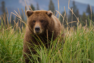 Beauty and the Beast as One.  Coastal brown bear sow.  4771 | by Dr DAD (Daniel A D'Auria MD)