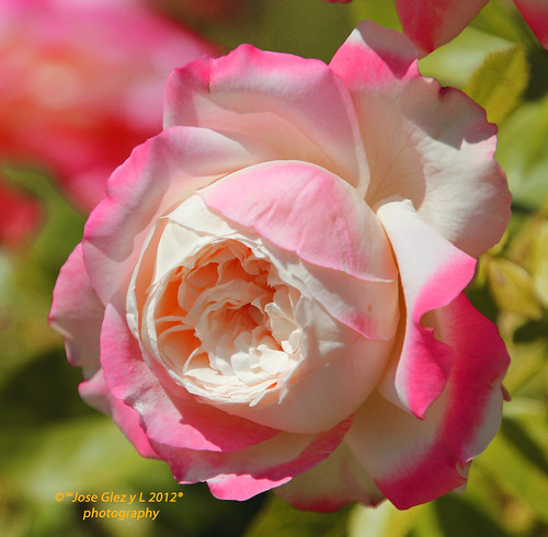 Bicolor rose | by Pepe (ADM)