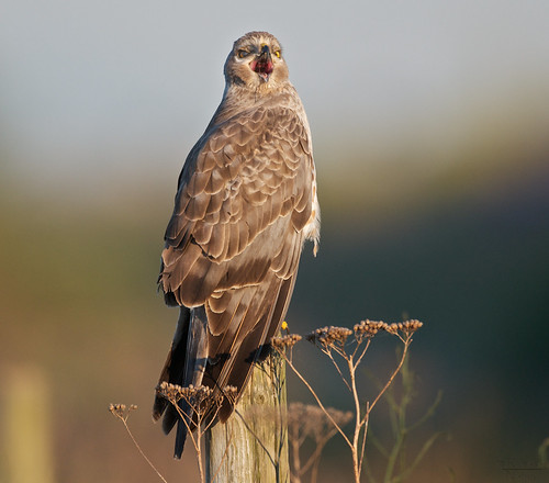 Northern harrier, male (3 of 3) | by Through The Big Lens