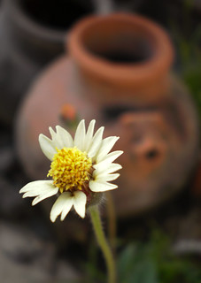 Flower Pot This Is Weed Flower Commonly Found In India