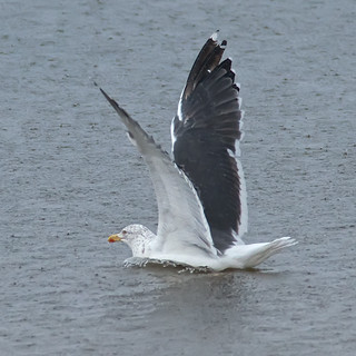 gull olympics RAIN STOPPED PLAY | by blackfox wildlife and nature imaging