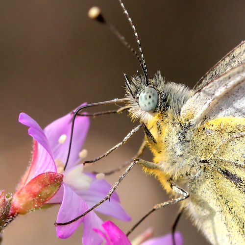 Green-veined White Close Up | by Ger Bosma