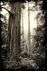 Stanley Park Trees 01
