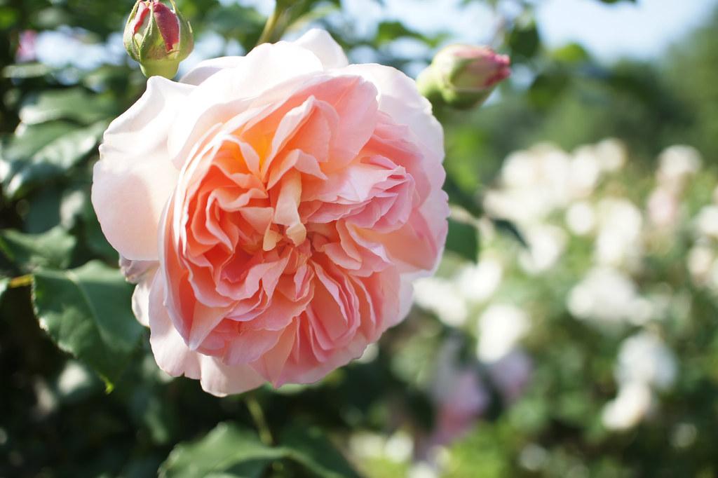 Rose Emanuel バラ エマニュエル | Rose Emanuel バラ エマニュエル English ...